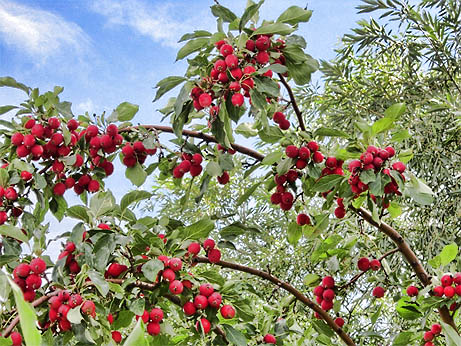 Crabapple Tree Fruit Pictures