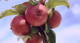 Growing Apple Trees for Deer Food Plots