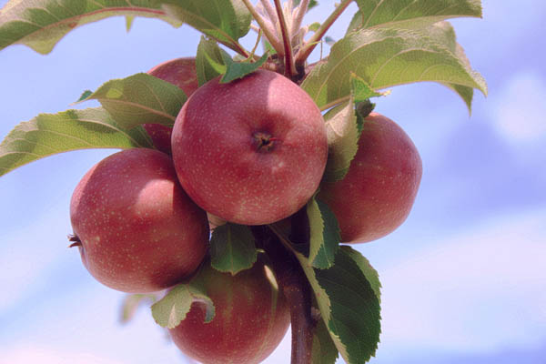 how to get rid of powdery mildew on apple trees