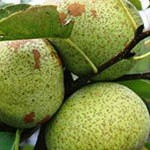 the_wildlife_group_galloway_pear