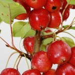 the_wildlife_group_callaway_crabapple