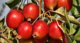 Shop for Crabapples