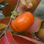 the_wildlife_group_japanese_persimmon