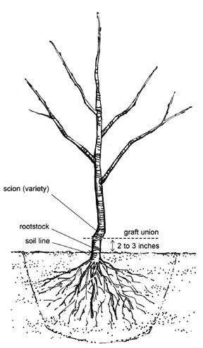 Diagram Of The Cherry
