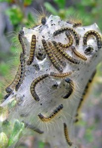 the_wildlife_group_spraying_japanese_beetles
