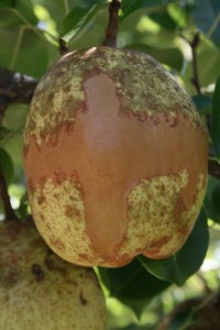 Gate Pear with frost damage!