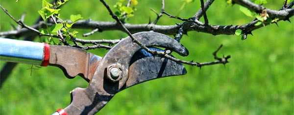 young apple tree pruning guide